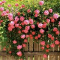 Скачать Розы цветущие все лето фото 4.