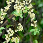 Литцея кубеба (May Chang) Litsea cubeba