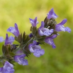 Шалфей Salvia officinalis