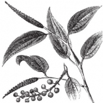 Cubeb or Tailed pepper Piper cubeba