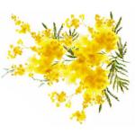 Цвет и запах. Часть первая. Мимоза