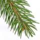 Ель: рождественское дерево