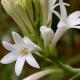 Тубероза: Цветок, Аромат, История и Духи