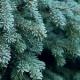 Запахи Рождества: пихта