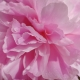 Селекция пионов и аромат пиона в парфюмерии