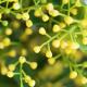 Aglaia Odorata или китайский домашний парфюмерный цветок